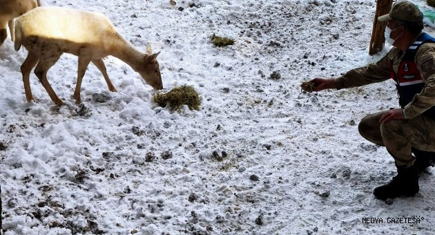 Kahramanmaraş'ta koruma altındaki geyikler için doğaya yem bırakıldı