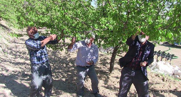 Kahramanmaraş'ta zirai don kayısı bahçelerine zarar verdi